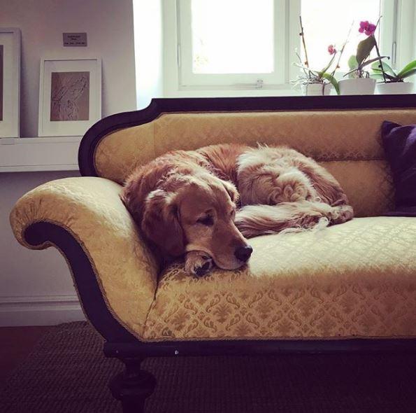 En golden retriever dåsar på en divan