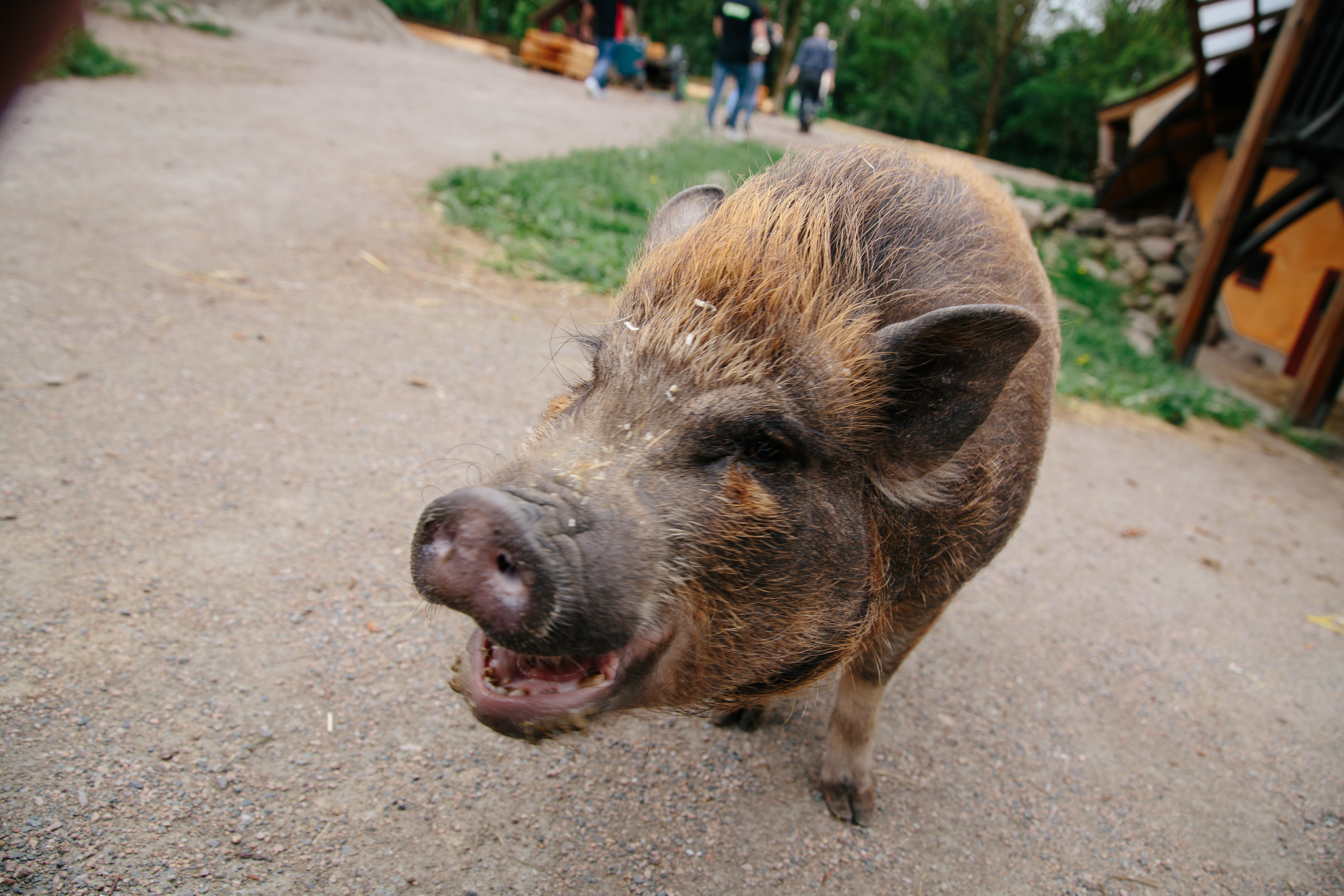 tam gris på st hansgården